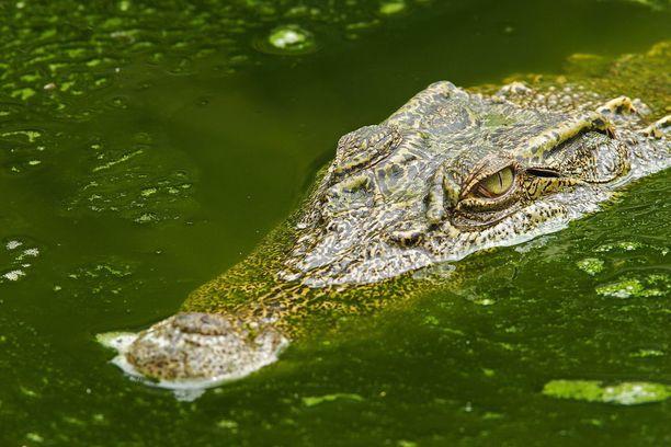 Siaminkrokotiili on uhanalainen krokotiililaji.