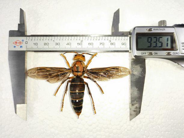 Kiinanherhiläiset voivat kasvaa jopa 5,5 senttimetrin pituisiksi.