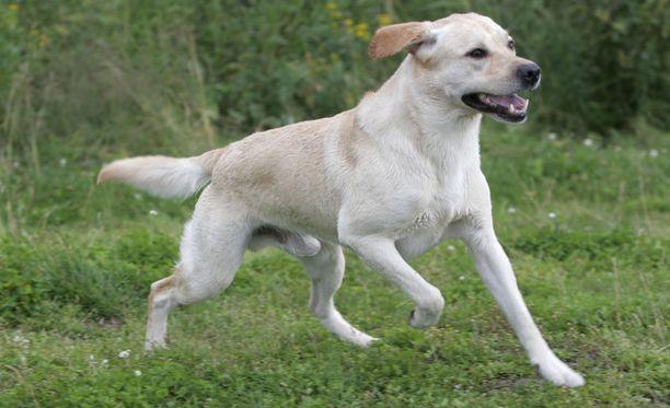 Labradorinnoutaja Max nousi sankariksi Meksikossa, jossa teinipoika eksyi Sierra Madren vuoristoilla. Kuvituskuva.