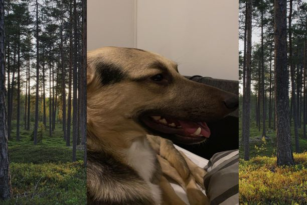 Koira oli päässyt pariskunnalta karkuteille ulko-ovesta. Kotiin palatessa koira oli verinen.