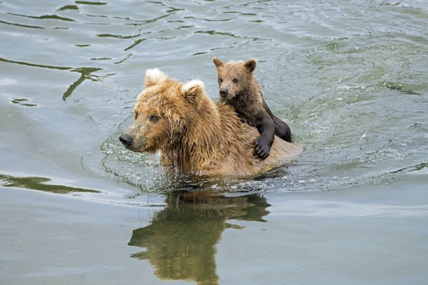 Äitikarhulle ja sen poikaselle kävi ikävästi Venäjällä. Kuvituskuva.