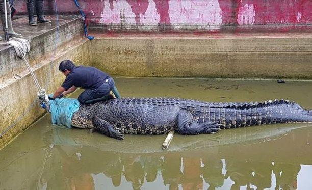 Krokotiili surmasi laboratorion johtajana helmiviljelmällä työskennelleen naisen.