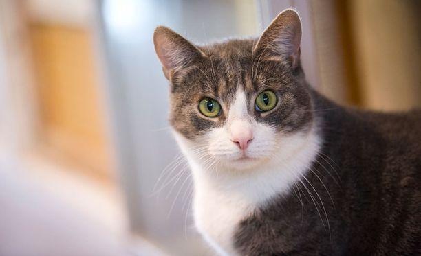Todennäköisesti kissa kääntää päätään, saattaa jopa höristää korviaan, mutta vastausta voi olla silti vaikea saada.