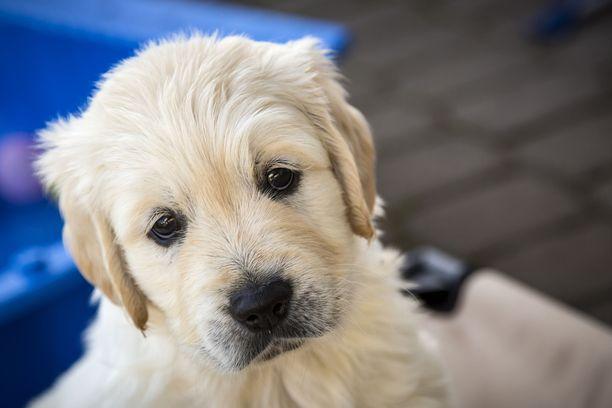 Kennelliiton mukaan koirien kysynnässä on nähty selvä piikki koronakevään aikana.