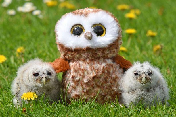 Kuvaushetkellä pikkupöllöt olivat noin 15 päivää vanhoja.