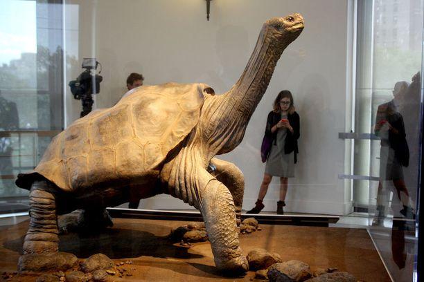 Vuonna 1971 löydetty ja kesällä 2012 kuollut jättiläiskilpikonna palsamoitiin New Yorkin luonnonhistoriallisessa museossa. Sitä pidettiin yleisön nähtävänä muutamia kuukausia syksystä 2014 lähtien.