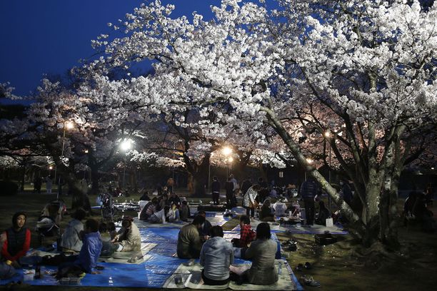 Kirsikankukista voi nauttia pimeälläkin puistojen valaistuksen ansiosta.