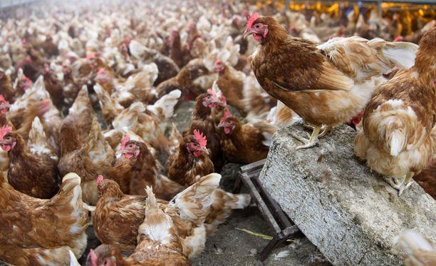 Lintuinfluenssa on vakava ongelma Etelä-Korean kanafarmeilla. Kuvituskuva.