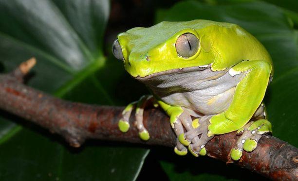 Avarassa luonnossa perehdytään lukuisiin eri sammakkolajeihin, joista osa viittoo. Kuvassa makisammakkojen edustaja.