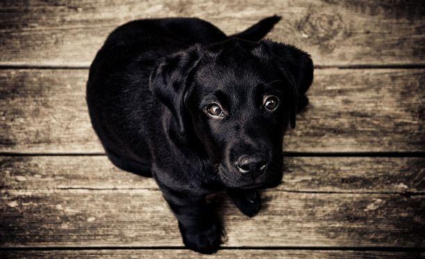Säpäkkä labradorinnoutaja on suomalaisten suosikkirotu.