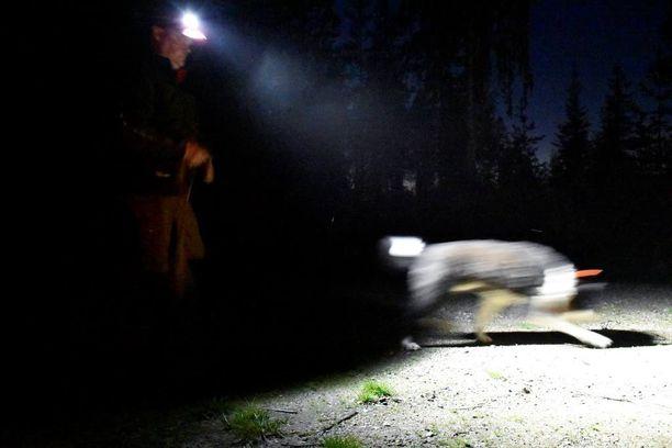 Janne päästää Sakun irti ja koira lähtee heti töihin.