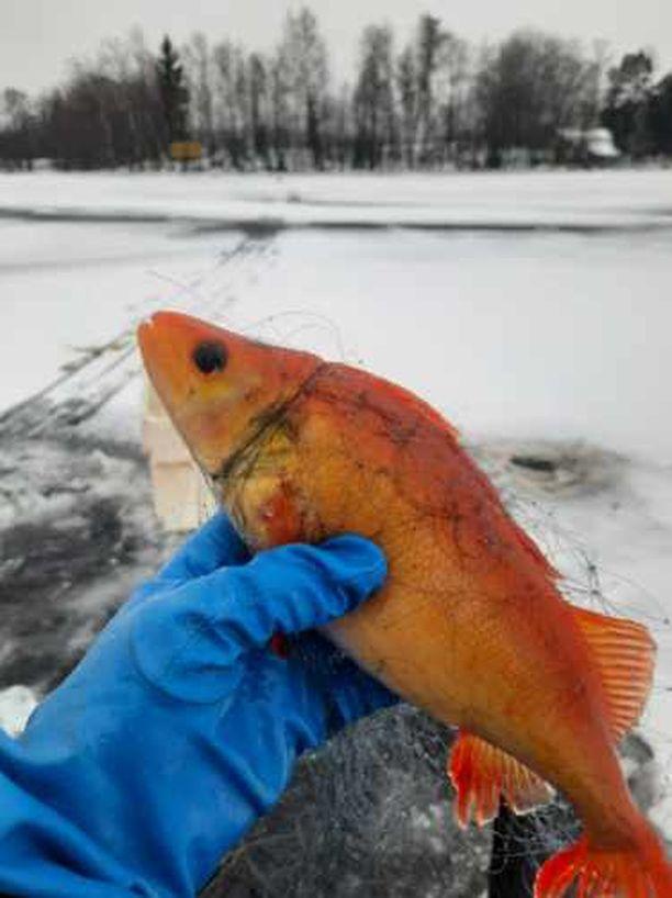 Pekka Rintamaa on tyytyväinen,että kalaa pääsee näkemään tulevaisuudessa museossa.