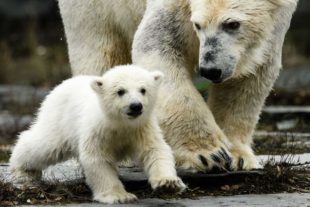 Ensi askeleet villissä maailmassa, äidin tarkassa valvonnassa.