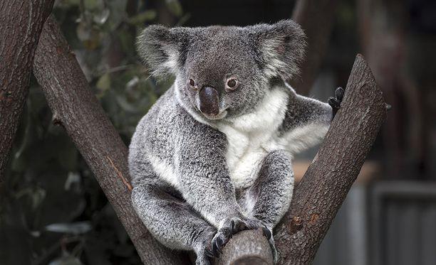 Koala syö eukalyptusten lehtiä.