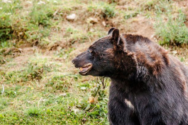 Coloradon osavaltiossa elää noin 19000 mustakarhua. Kuvituskuva.