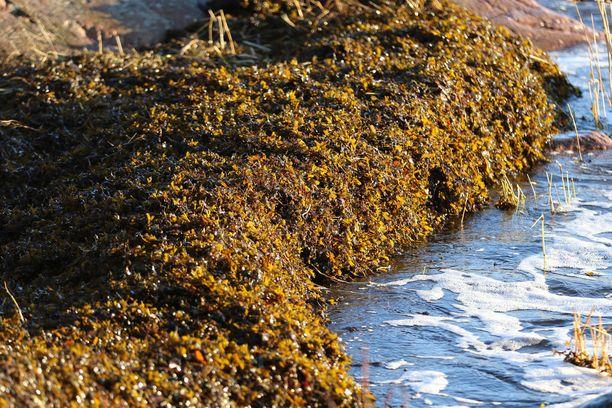 Meren pohjasta ajautunutta rakkolevää Lauttasaaren rannassa joulukuun puolivälissä.