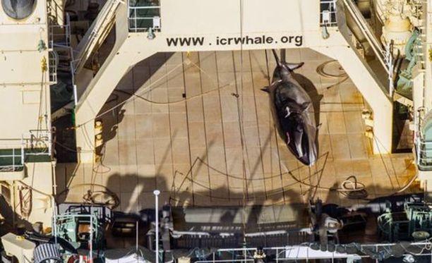 Sea Shepardin helikopterista onnistuttiin kuvaamaan tapettu lahtivalas.