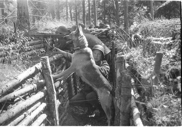 Sotakoira Taru on yksi Viitasaaren muistolaatassa mainituista koirista. Kuvassa se odottaa tulilinjalla, että saa viestin vietäväksi eteenpäin. Kuva on otettu Martinsaaressa 7.8.1941.