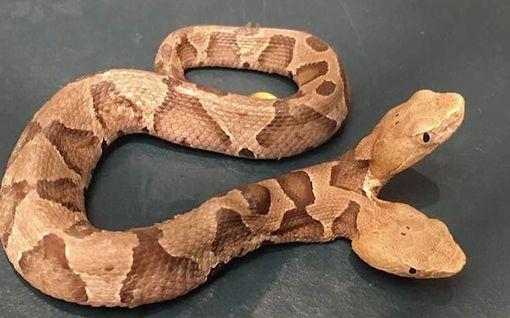 Hämmästyttävä löytö Yhdysvalloissa: Harvinainen kaksipäinen käärme