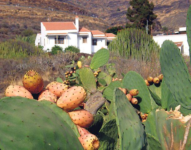 Opuntia-kaktukset tuovat mieleen villin lännen elokuvamaisemat.