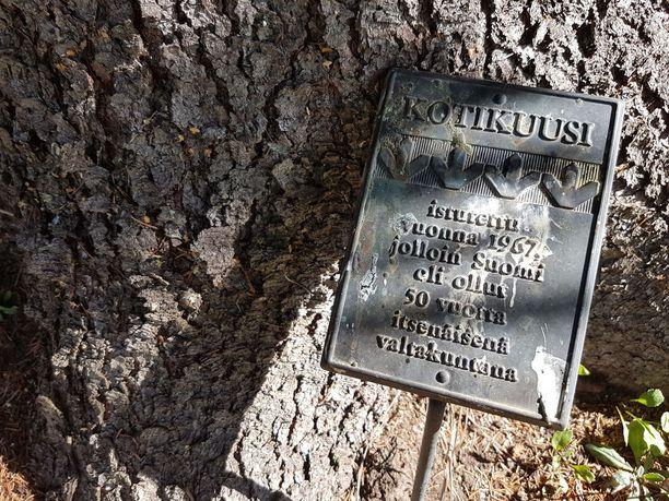 Terävän veljesten vanhemmat istuttivat 50 vuotta sitten kotikuusen pihamaalleen vuonna 1917 istutetun kuusen siemenestä.