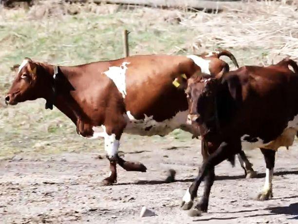 Esko Rissasen naudat ovat yhä kateissa. Kuvan eläimet eivät liity tapaukseen.