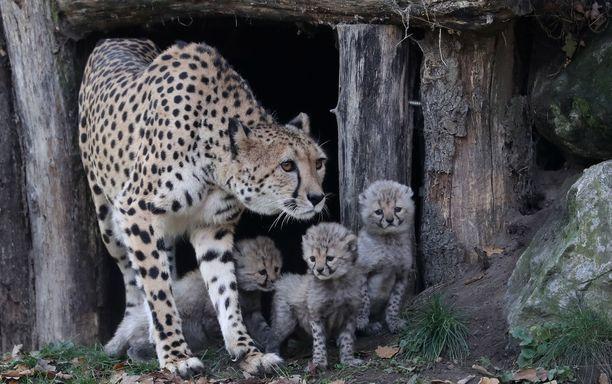 Gepardit kuuluvat eläinkunnan nopeimpiin otuksiin.