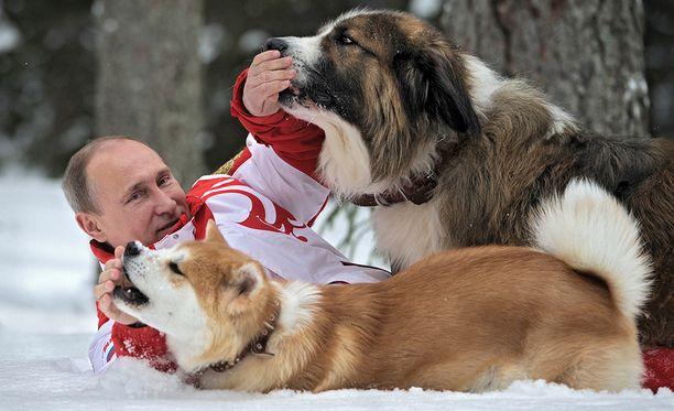 Vladimir Putin leikkii koiriensa kanssa. Yume on etummaisena. Akita on Japanin kansallisrotu.