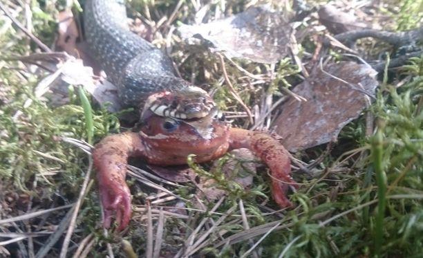Juha hämmästyi lenkillä mutantilta näyttävää otusta, joka paljastui sammakkoa syöväksi käärmeeksi.