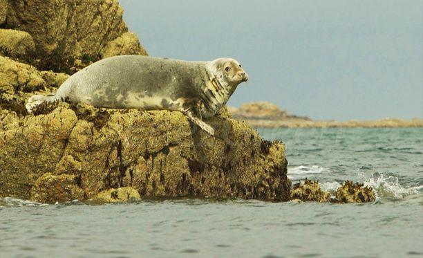 Saarella elää suuri hyljepopulaatio.
