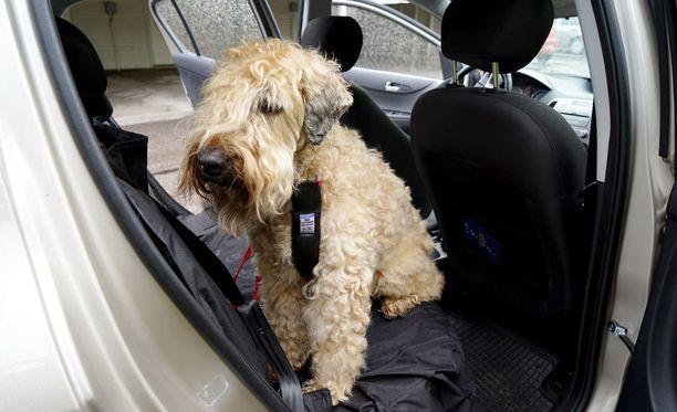 Kuuma auto voi koitua kesällä koiran kohtaloksi.