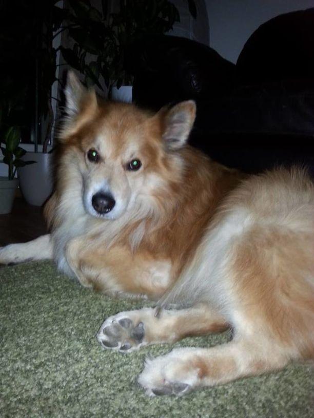 Nixu-koira kuoli terrierihyökkäyksen aiheuttamaan shokkiin.
