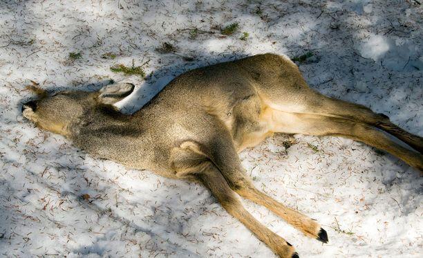 Arkistokuvassa kuollut metsäkauris. Suomen Riistakeskus kertoi maaliskuussa, että valkohäntäpeuran ja metsäkauriin toteutunut saalismäärä oli ennätyksellisen suuri. Metsäkauriita näkee koko maassa, tiheimmin Lounais-Suomessa. Valkohäntäpeuraa taas löytyy pääasiassa Pohjanmaan ja Kymin väliin vedetyn eteläpuolelta.