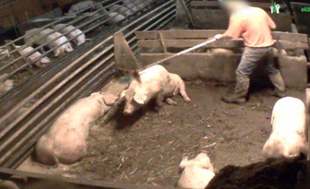 Eräällä sikatilalla työntekijä lyö maassa makaavaa sikaa.