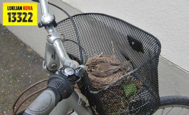 Lintu päätti tehdä pesän talon pihalla olevaan pyörään.