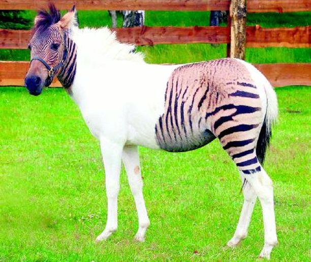 ERILAINEN NUORI Saksalaiseen Schloss Holte-Stukenbrockin safaripuistoon on syntynyt seepran ja hevosen kiihkeästä suhteesta niiden välimuoto eli seeponen. Tämän värikylläisen luontokappaleen isä oli terhakka seepra.
