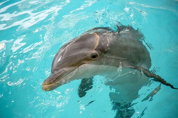 Veera-delfiini on jo yli 40-vuotias.