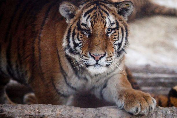 Tiikeri on kissapedoista suurin ja kuvassa näkyvä amurintiikeri kookkain alalaji. Amurintiikereitä elää luonnossa enää reilut 500 yksilöä. Niihin voi tutustua esimerkiksi Helsingin Korkeasaaressa.