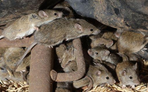 """Australiasta leviää hätkähdyttävää videota ja kuvaa – """"hiirirutto"""" piinaa maaseutua"""