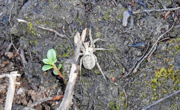 Keijo Purmonen löysi Ilomantsin metsistä hämähäkin, jonka ei tiedetty levinneen vielä niin itään ja pohjoiseen. Suurin osa Suomen noin kuudestakymmenestä havainnosta on tehty Etelä-Suomessa.