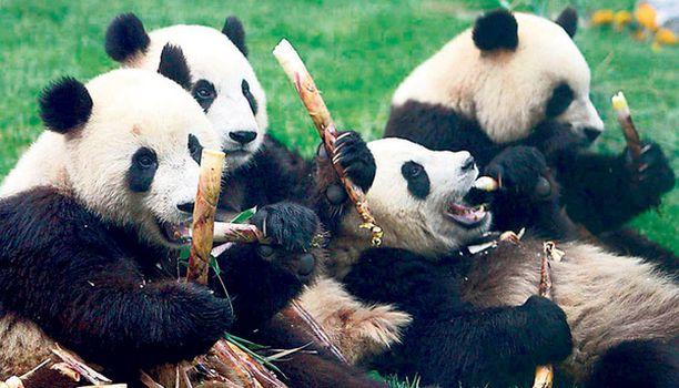 ANSAITTU HERKKUHETKI Kiinan maanjäristyksestä pelastuneet pandat nauttivat bambuherkuista uudessa asunnossaan Pekingissä. Pandojen vanha asuinrakennus Sichuanissa tuhoutui maanjäristyksessä täysin, mutta leppoisista ilmeistä päätellen nallet viihtyvät hyvin uudessakin kodissaan, jossa he asuvat seuraavat puoli vuotta olympialaisturistien ihasteltavina.
