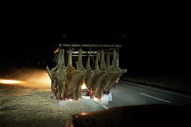 Kuolleita kenguruita kerättiin Australiassa lokakuussa. Kuivuuden vuoksi kengurut siirtyvät suurissa laumoissa alueelta toiselle, mikä aiheuttaa vaaraa liikenteelle.