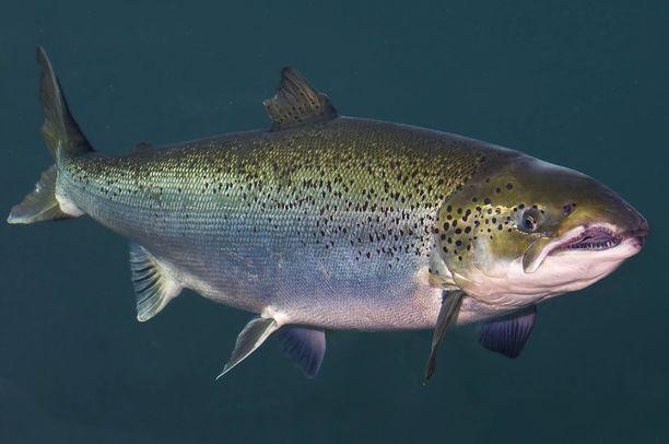Myös Norjassa kalastajat ja viranomaiset ovat ihmetelleet joista löydettyjen lohien kuntoa.
