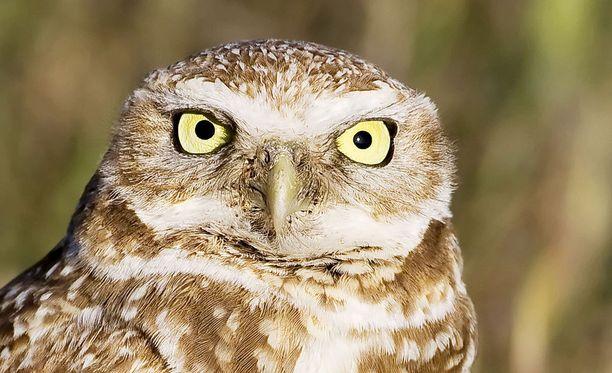 Iso pöllö hämmensi Nascar-harjoituksissa Kaliforniassa. Kuvituskuva.