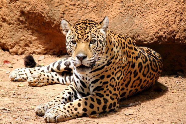Onko kuvassa leopardi vai pantteri? Kumpi tahansa, sillä ne ovat yksi ja sama eläin.