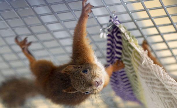 Kuvan orava ei liity tapaukseen.