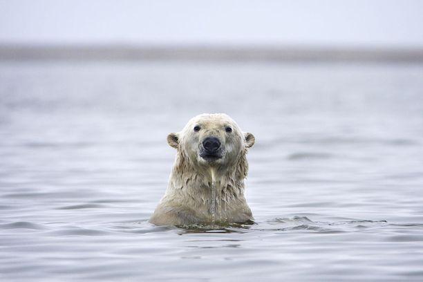 Jääkarhujen hyökkäykset eivät ole yleisiä.