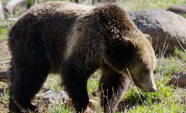 Harmaakarhu Yellowstonen kansallispuistossa. Kuvituskuva ei liity tapaukseen.