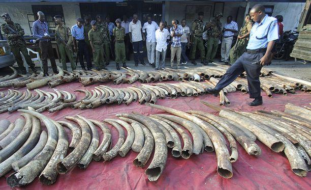 Poliisi esittelee takavarikoituja norsun syöksyhampaita Mombasassa Keniassa.