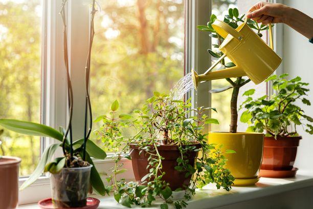 Kasvukausi alkaa helmi-maaliskuusta ja päättyy syys-lokakuuhun. Silloin monet huonekasvit tarvitsevat ravinteita.
